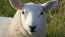 Lundy Sheep - Photo by Michael Maggs, Wikimedia Commons