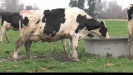 Embedded thumbnail for Cow sale report and where the breed is going