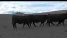 Embedded thumbnail for Hardy bulls up for sale
