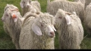 Embedded thumbnail for Mohair producers need to know their industry.