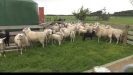 Embedded thumbnail for Straight East Friesian sheep may not be the best sheep to milk.